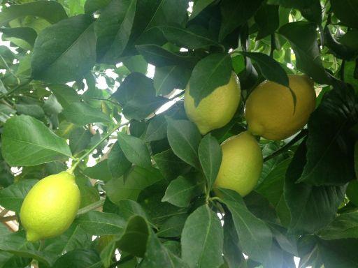 lemon001_512.jpg